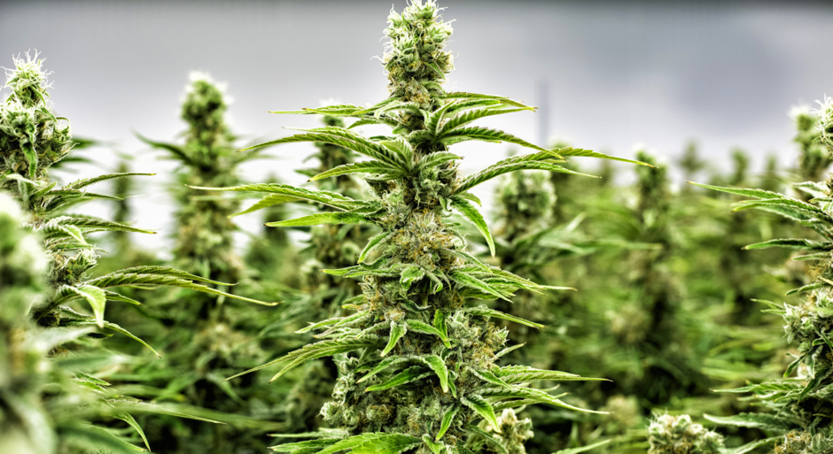 Cannabis in Emerging Economies: A Macro Perspective
